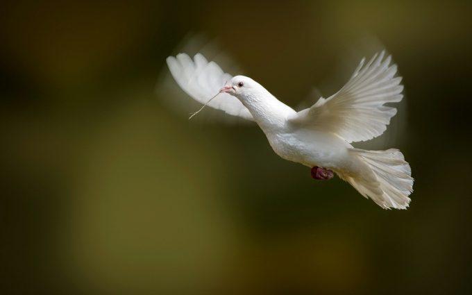 bird wallpaper dove