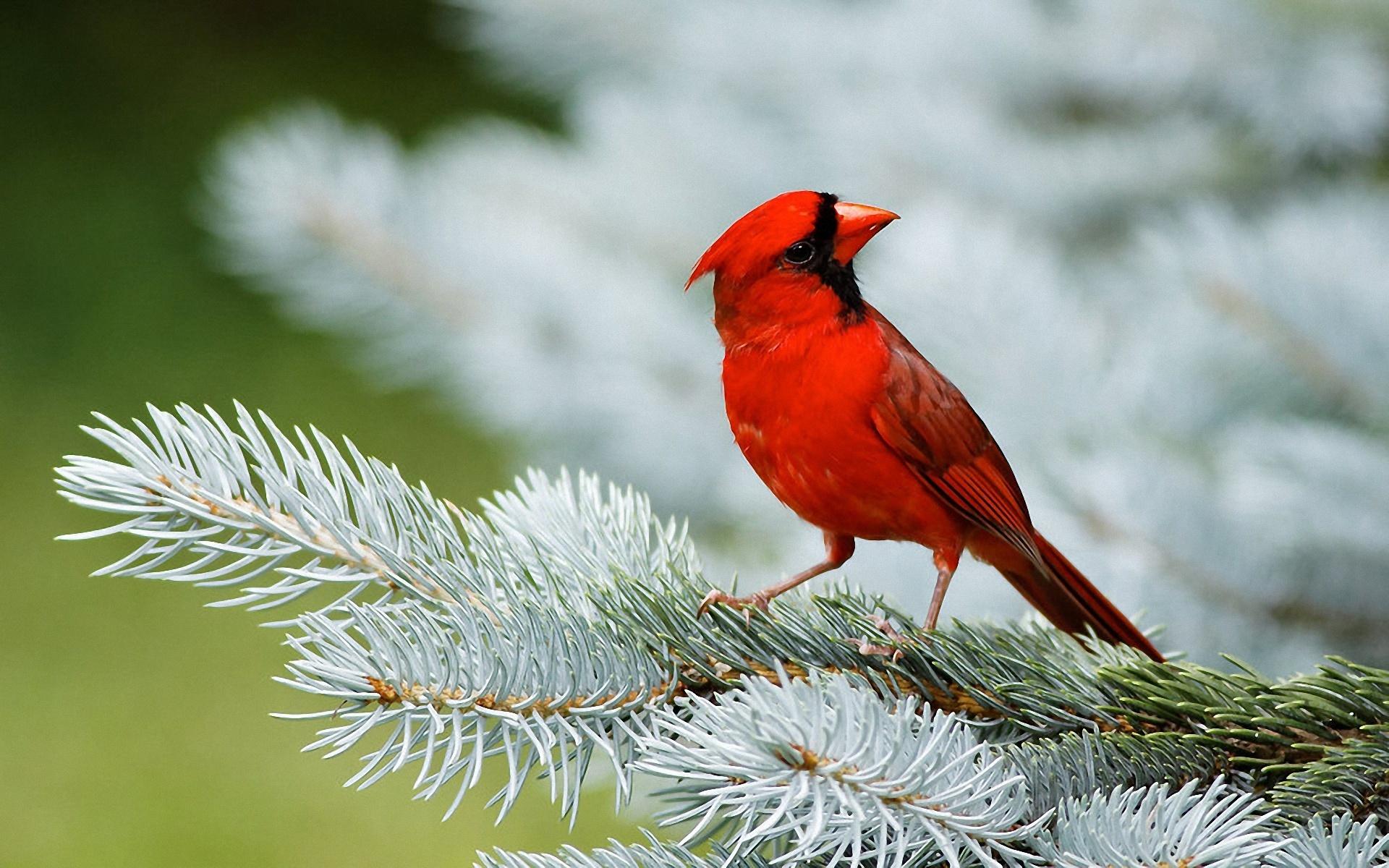bird wallpaper red