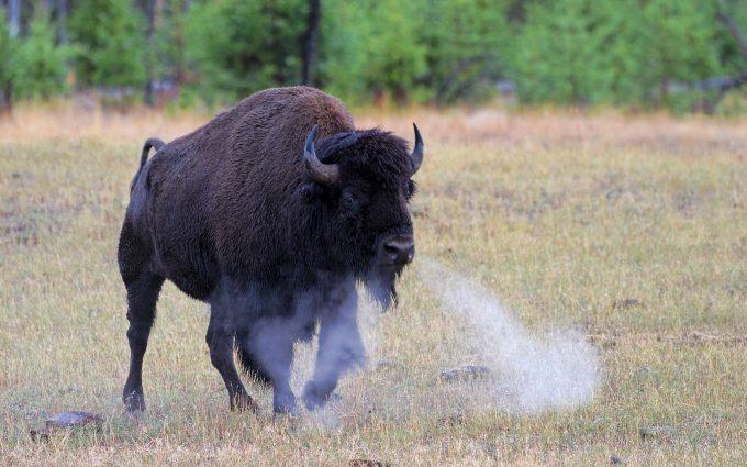 bison images free