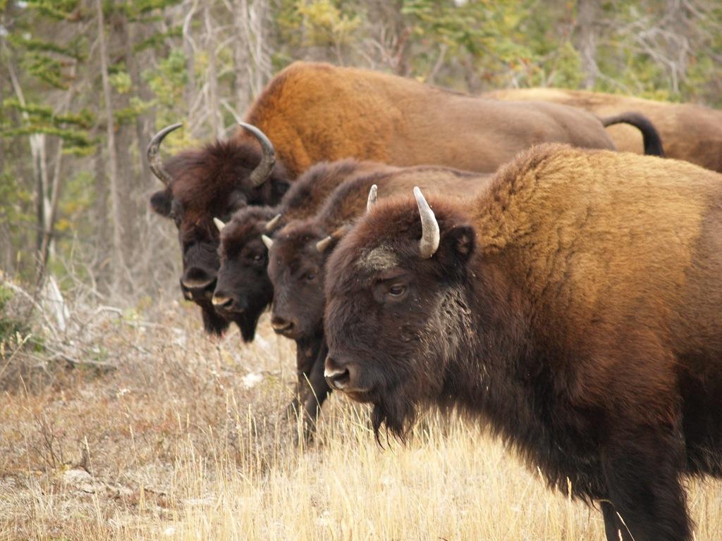 bison images