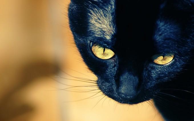 black cat hd
