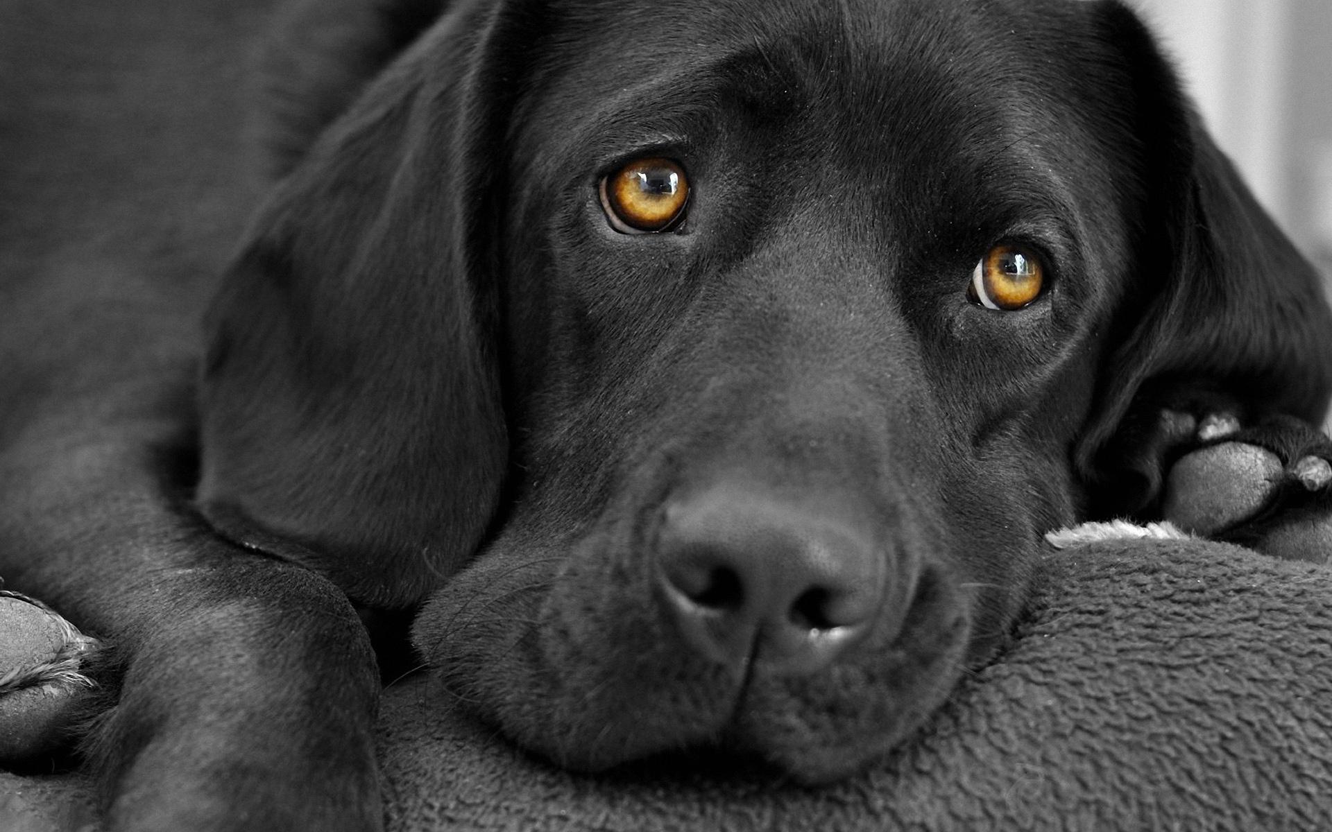 Black Dog Wallpaper Hd Desktop Wallpapers 4k Hd