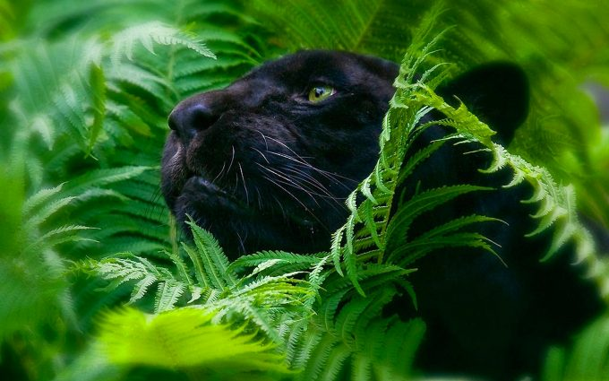 black panther wallpaper A4
