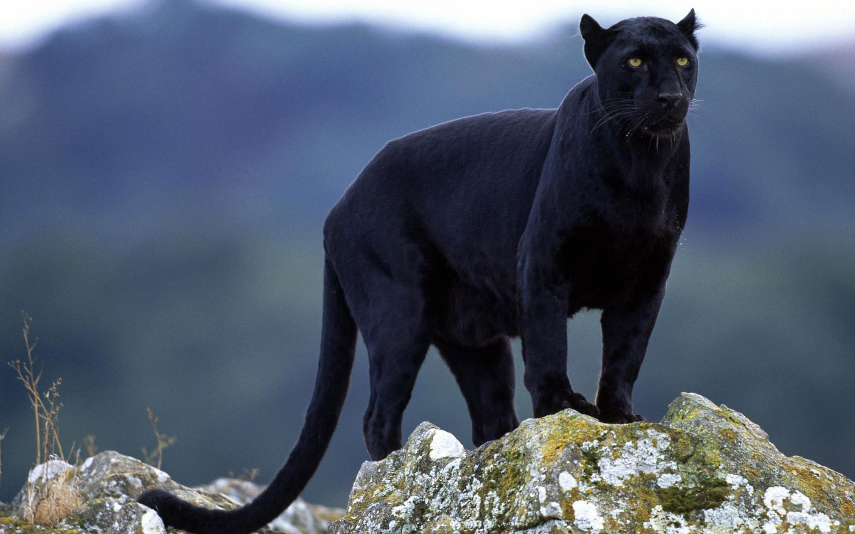 black panther wallpaper A7