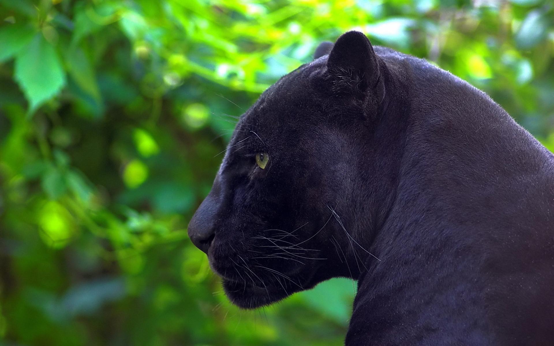 black panther wallpaper A8