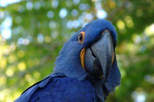 blue macaw hd