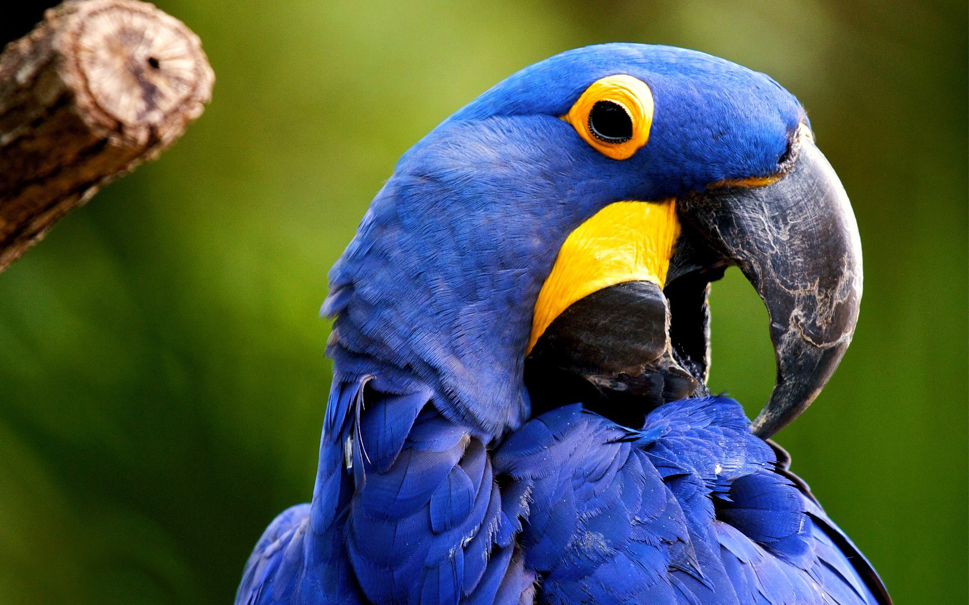 blue macaw wallpaper