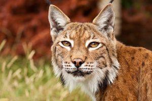 bobcat images