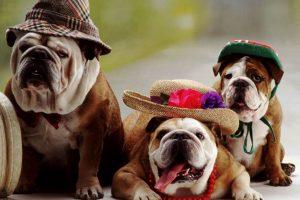 bulldog wallpapers