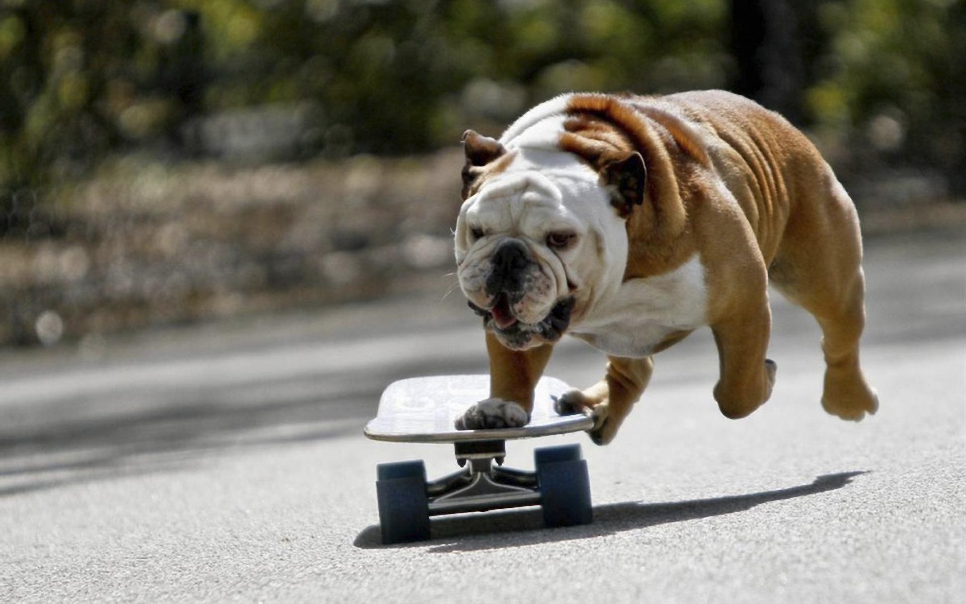 bulldog wallpapers dog breed
