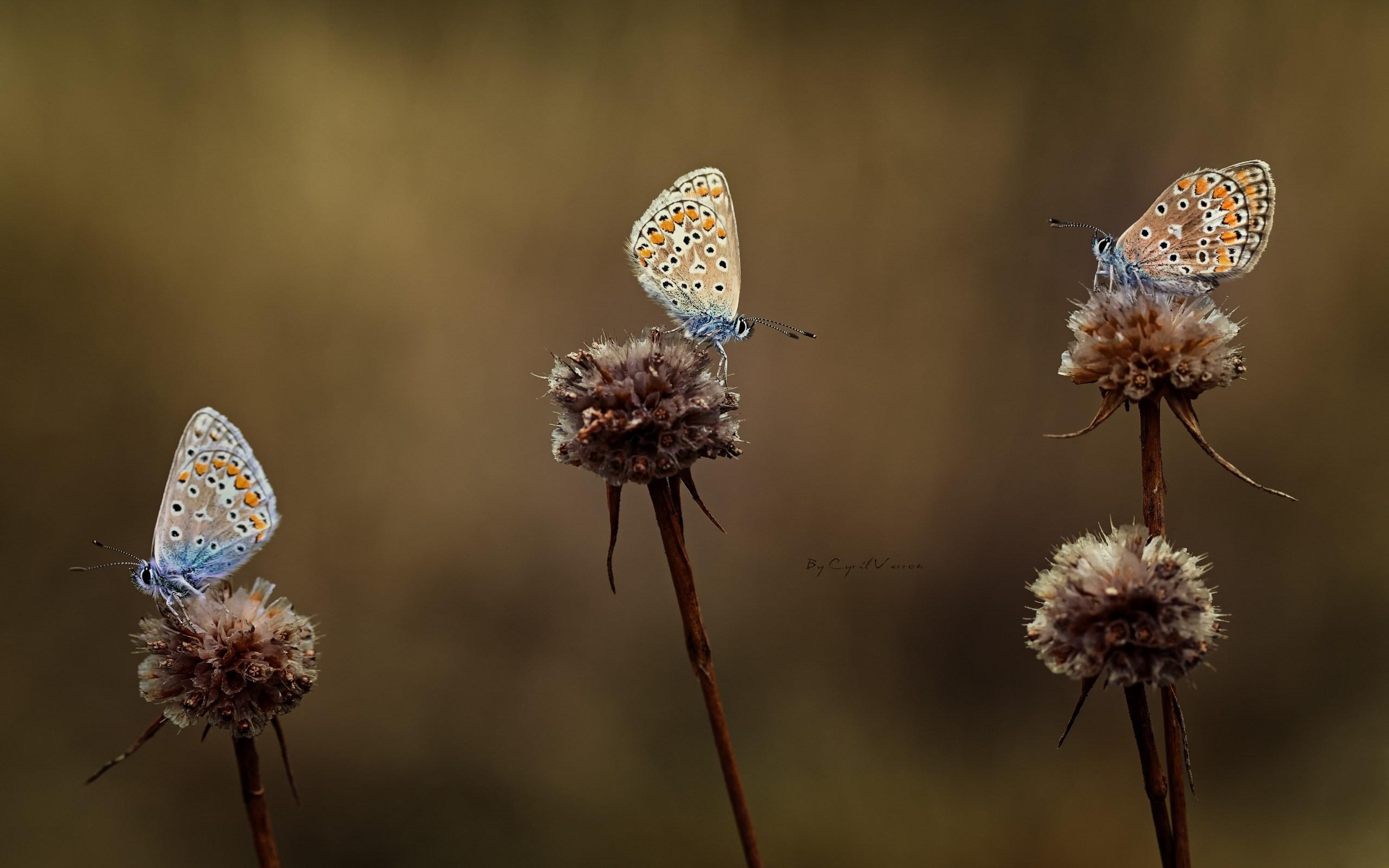 butterflies flowers wild