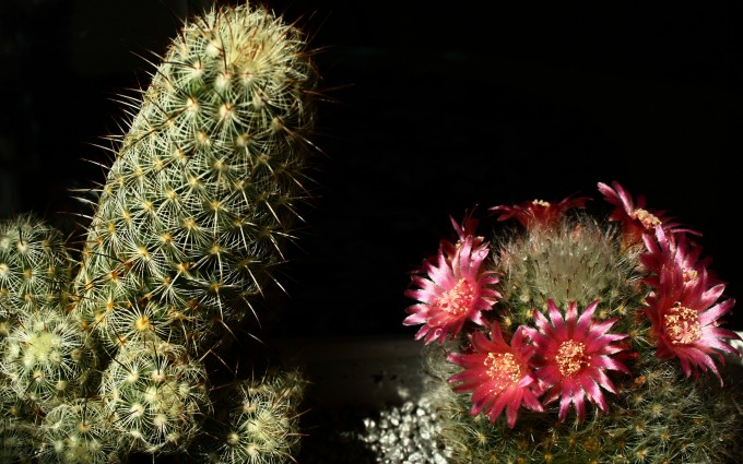 cactus wallpaper free download