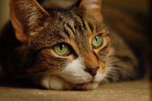 cat A1