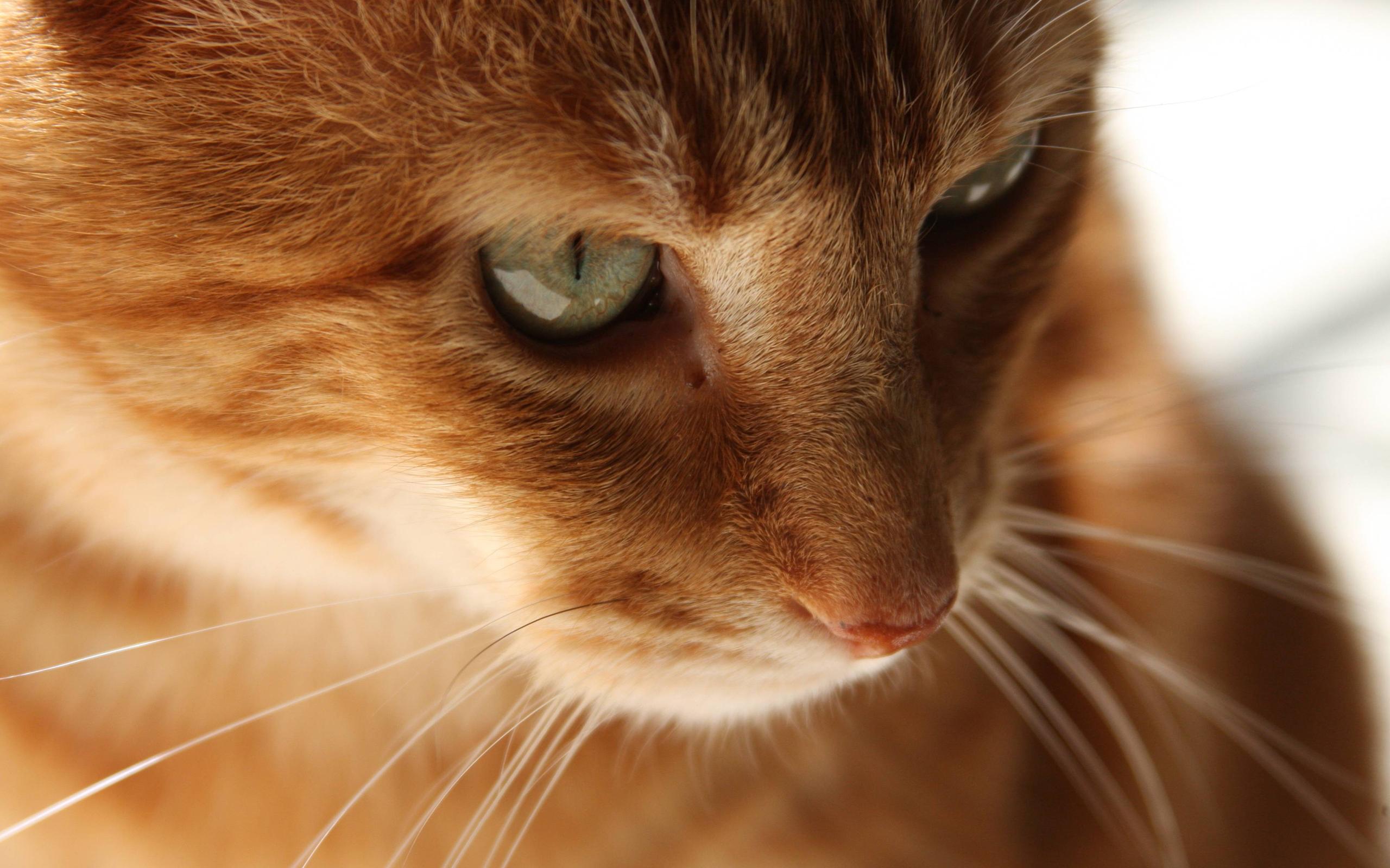 cat orange
