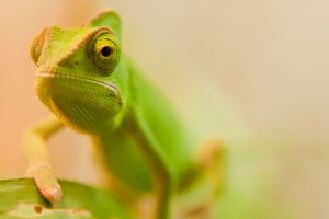 chameleon photography