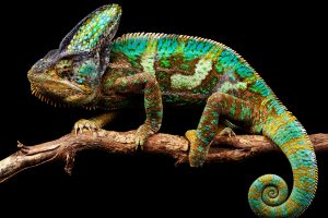 chameleon pictures hd