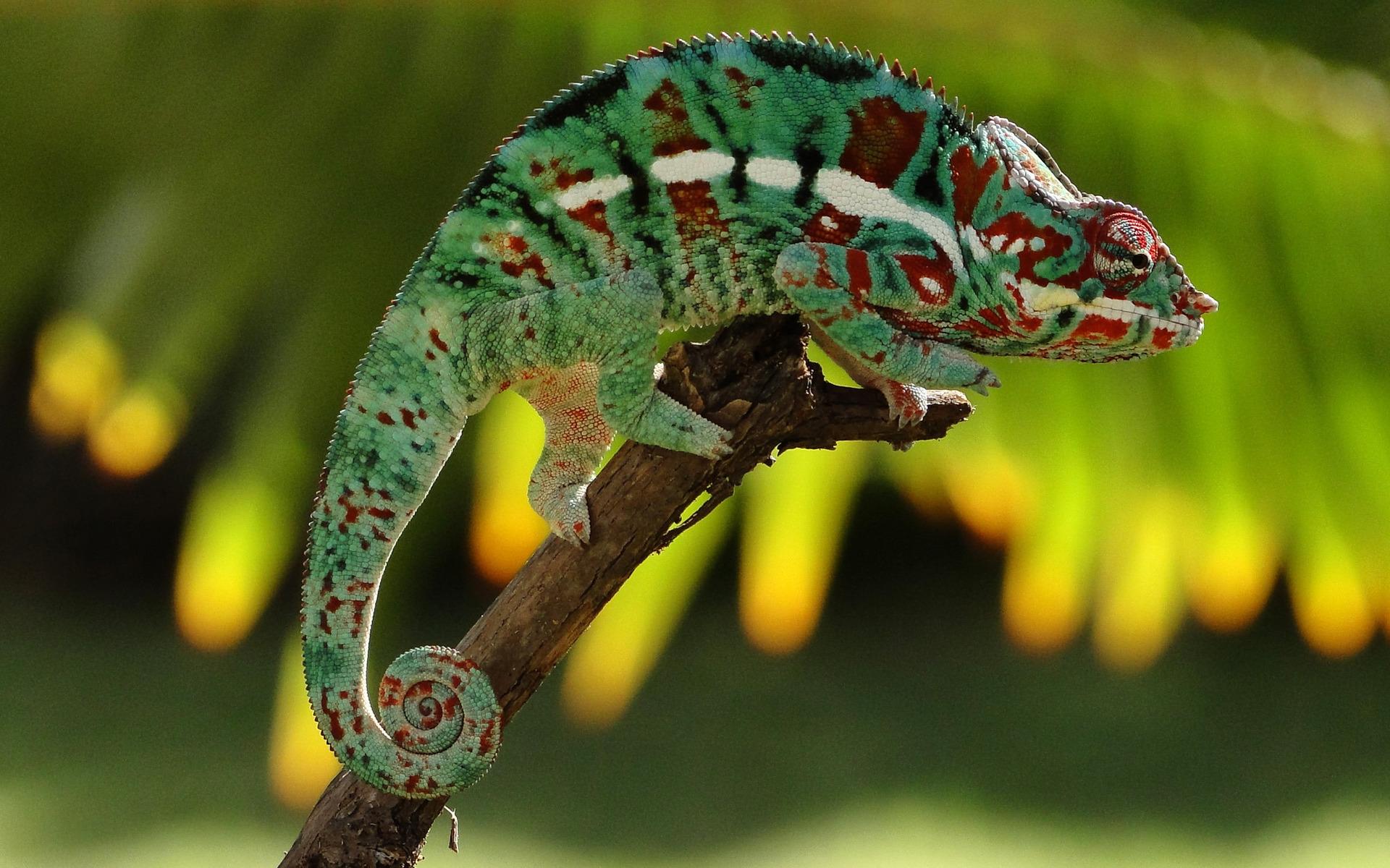 chameleon wallpaper hd