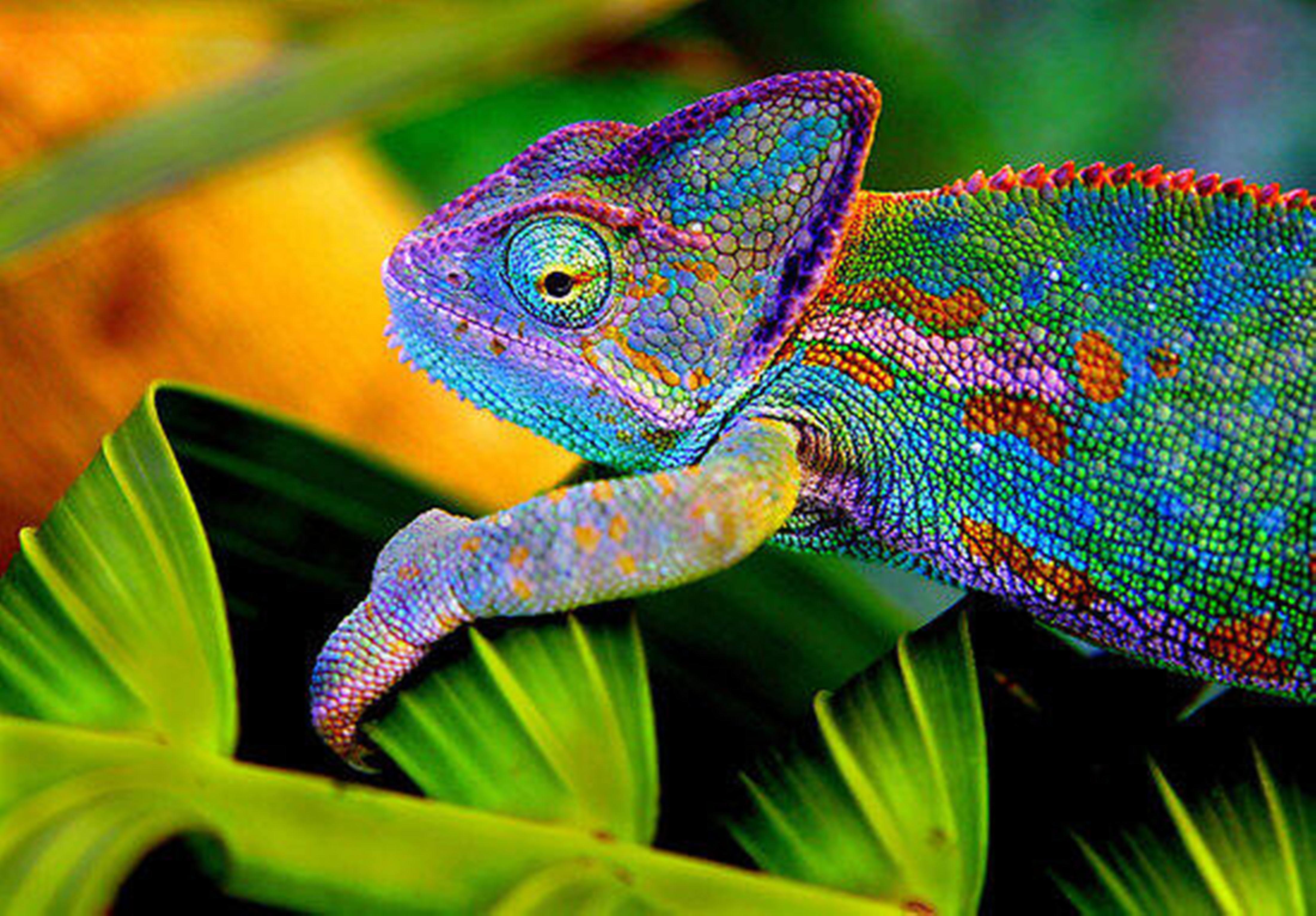 chameleon wallpapers 3d