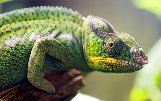 chameleon wallpapers A1