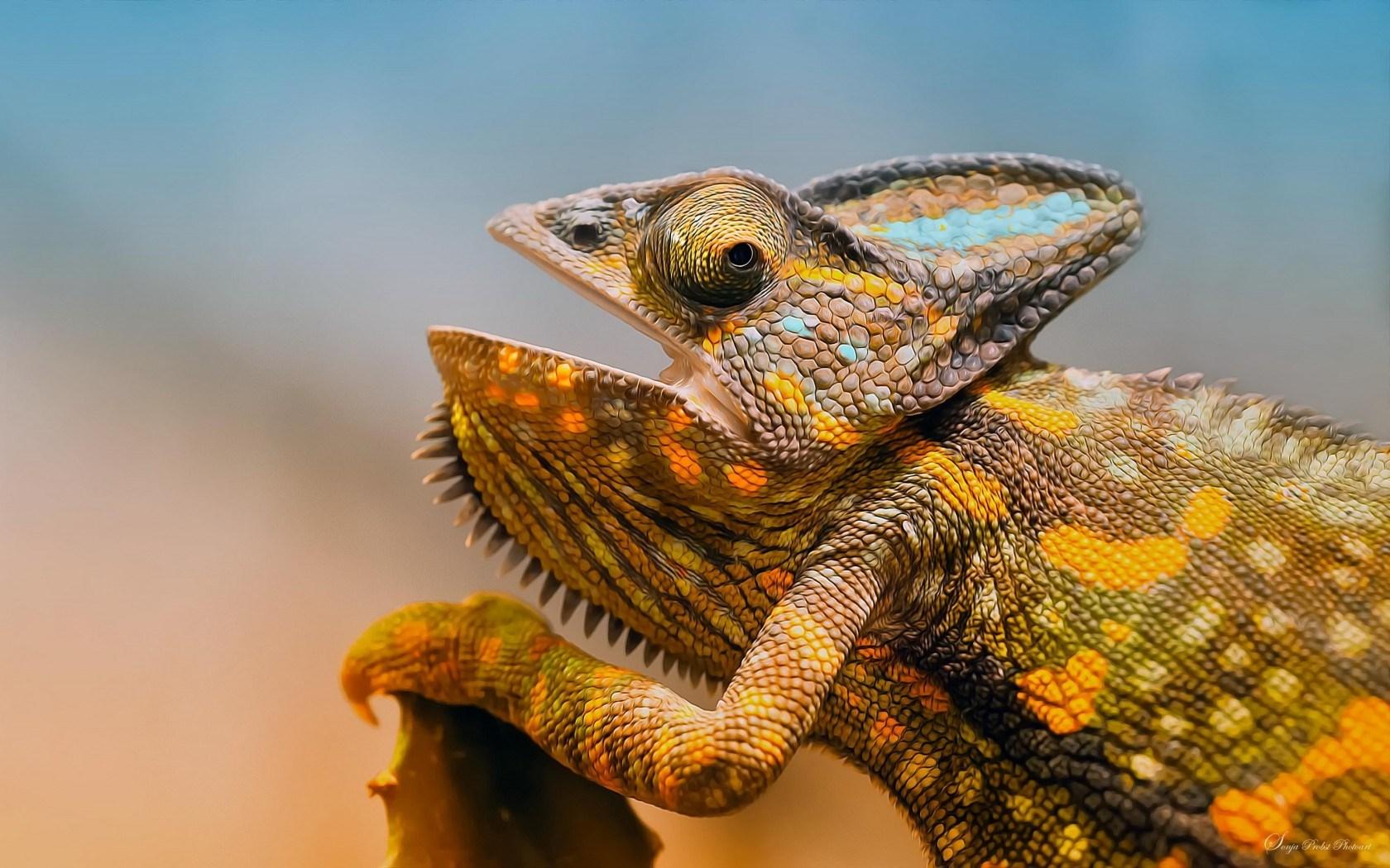 chameleon wallpapers jungle