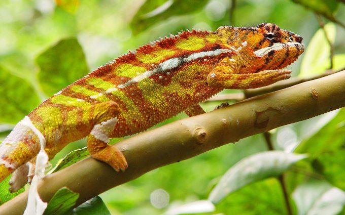 chameleon wallpapers reptile
