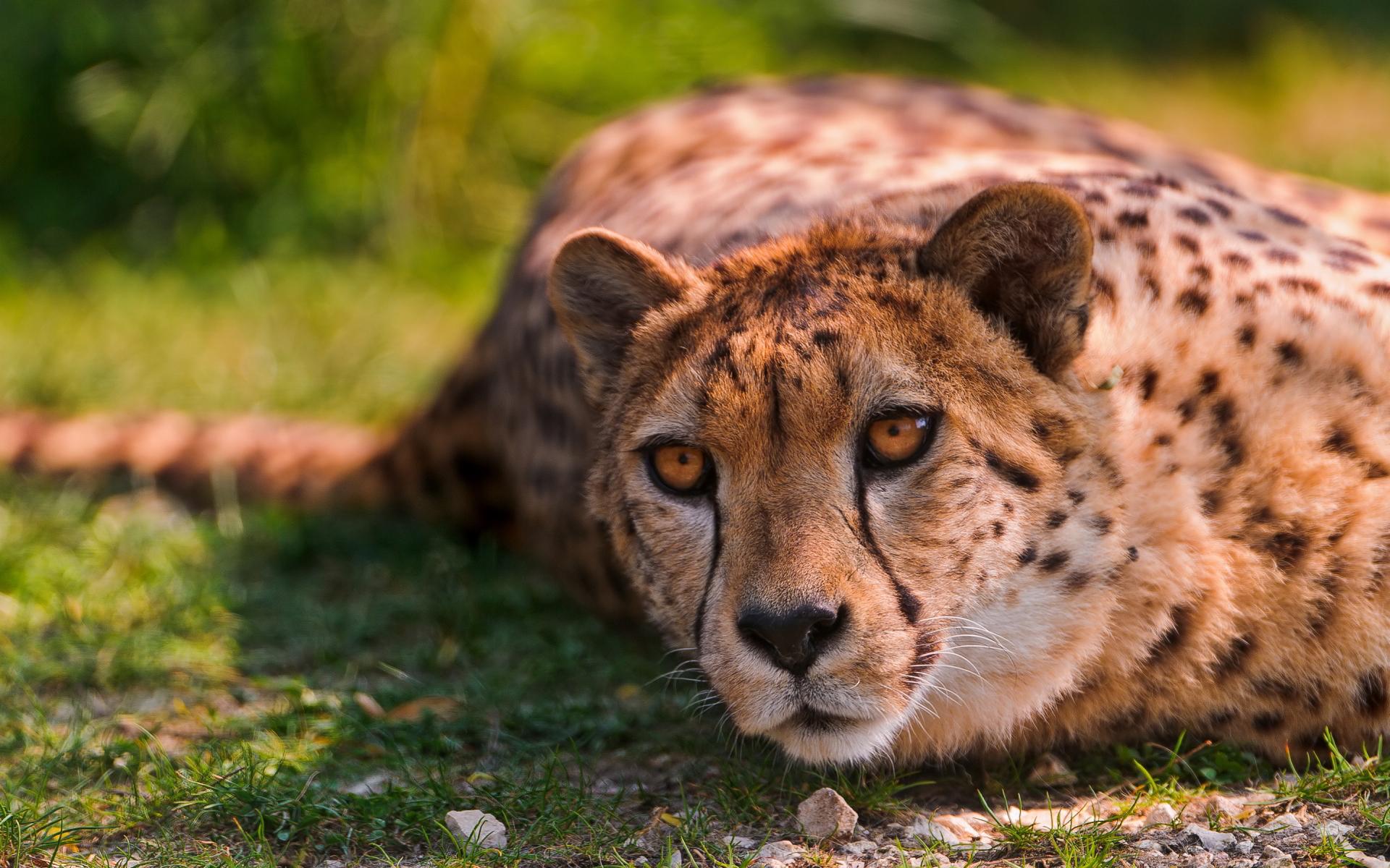 cheetah beautiful eyes
