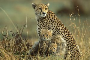cheetah image hd