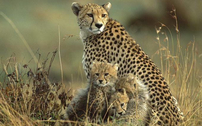 cheetah image hd