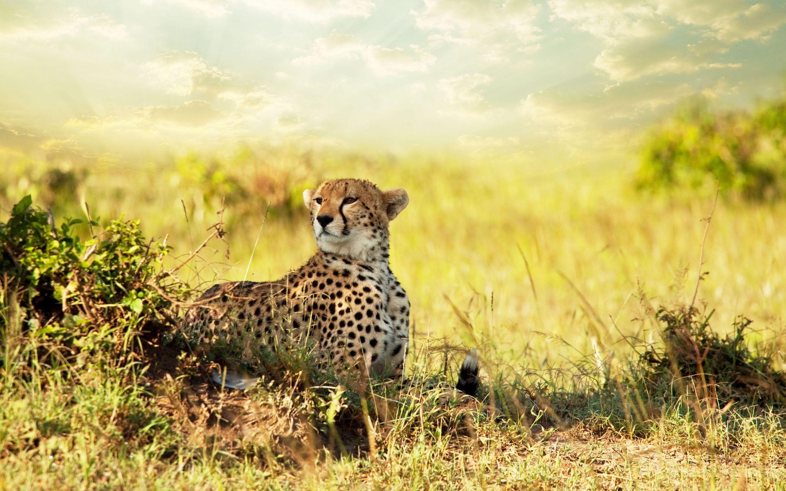 cheetah images animal