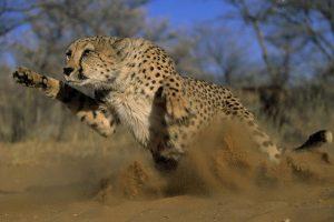 cheetah picturs