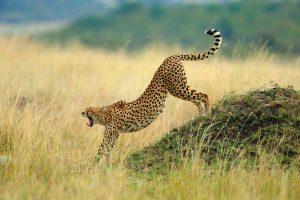cheetah wake up