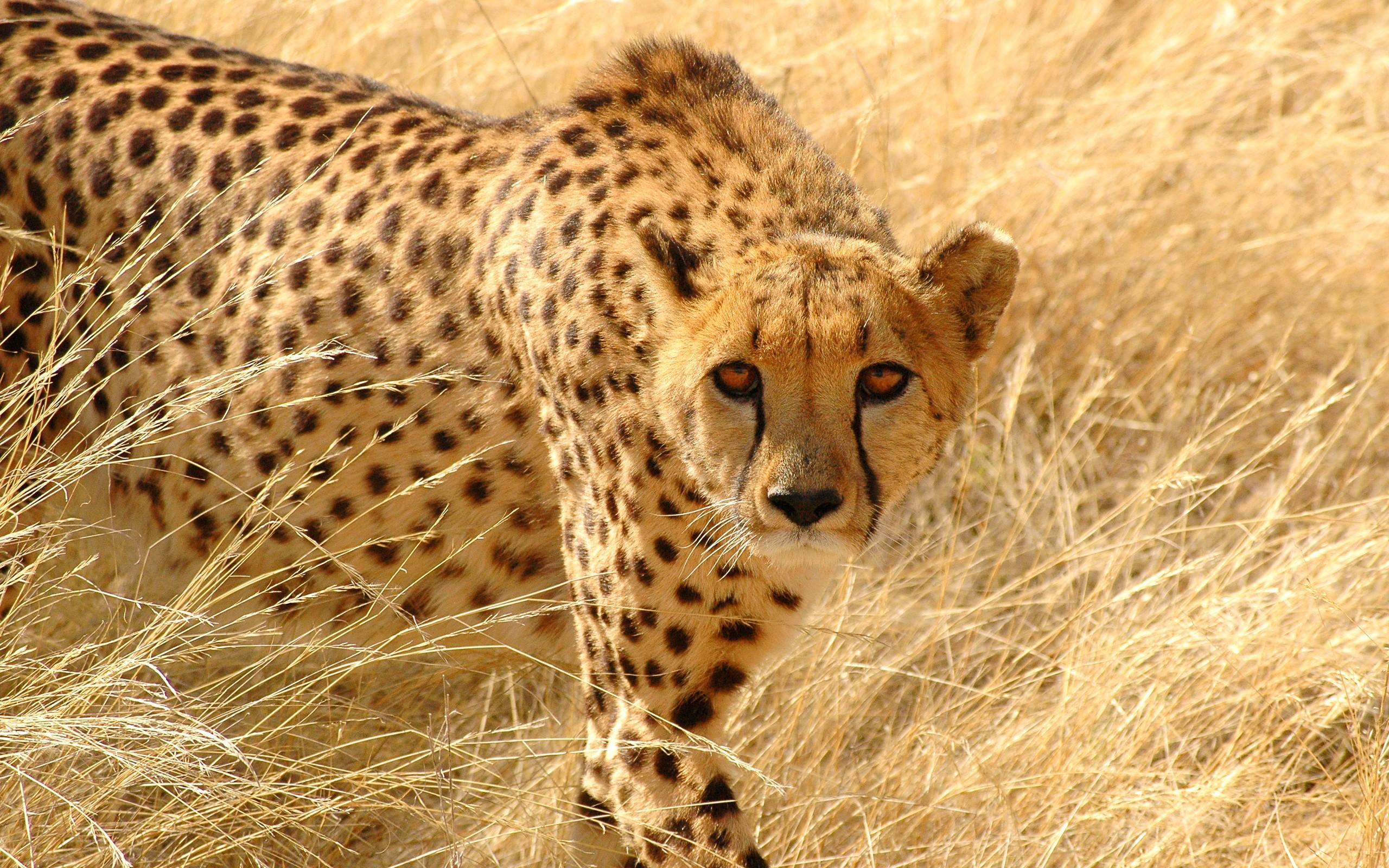 cheetah wallpapers hd