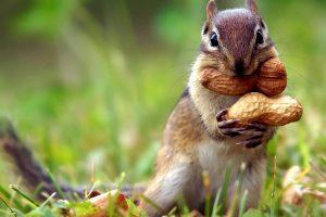 chipmunk images