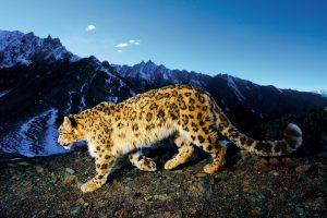 clouded leopard wallpaper