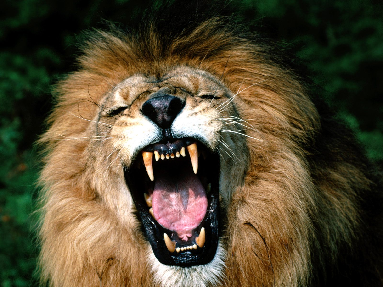 cool pictures of lions