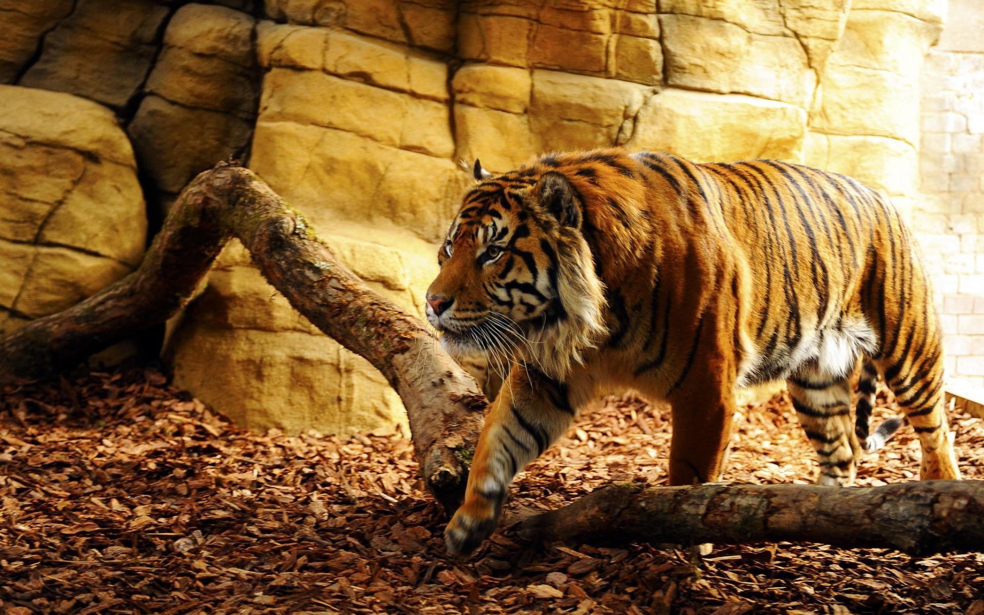 cool tiger backgrounds - HD Desktop Wallpapers   4k HD