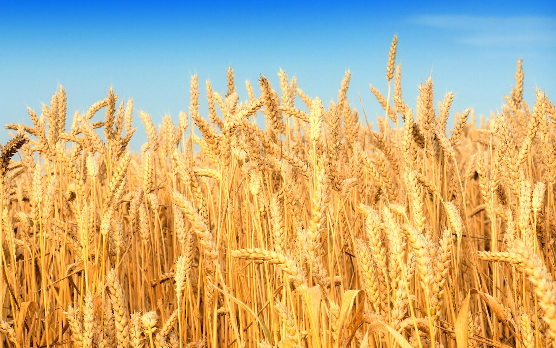 corn field download