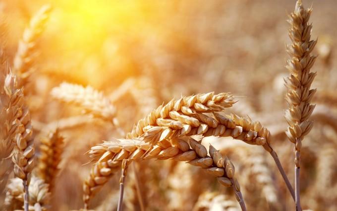 corn field hd