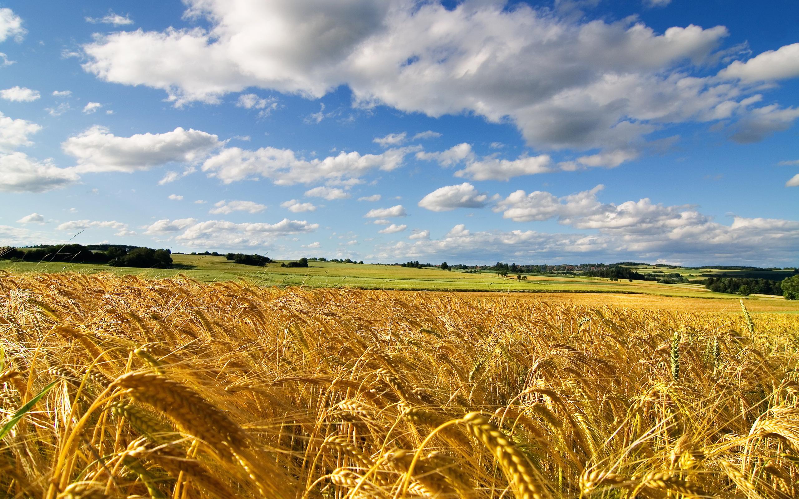 corn field wallpaper amazing - HD Desktop Wallpapers | 4k HD