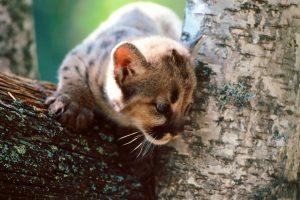 cougar animal