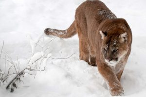 cougar images