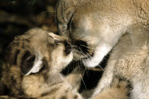 cougar wallpaper love