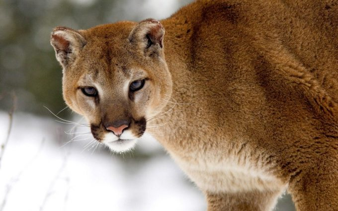 cougar wallpapers hd