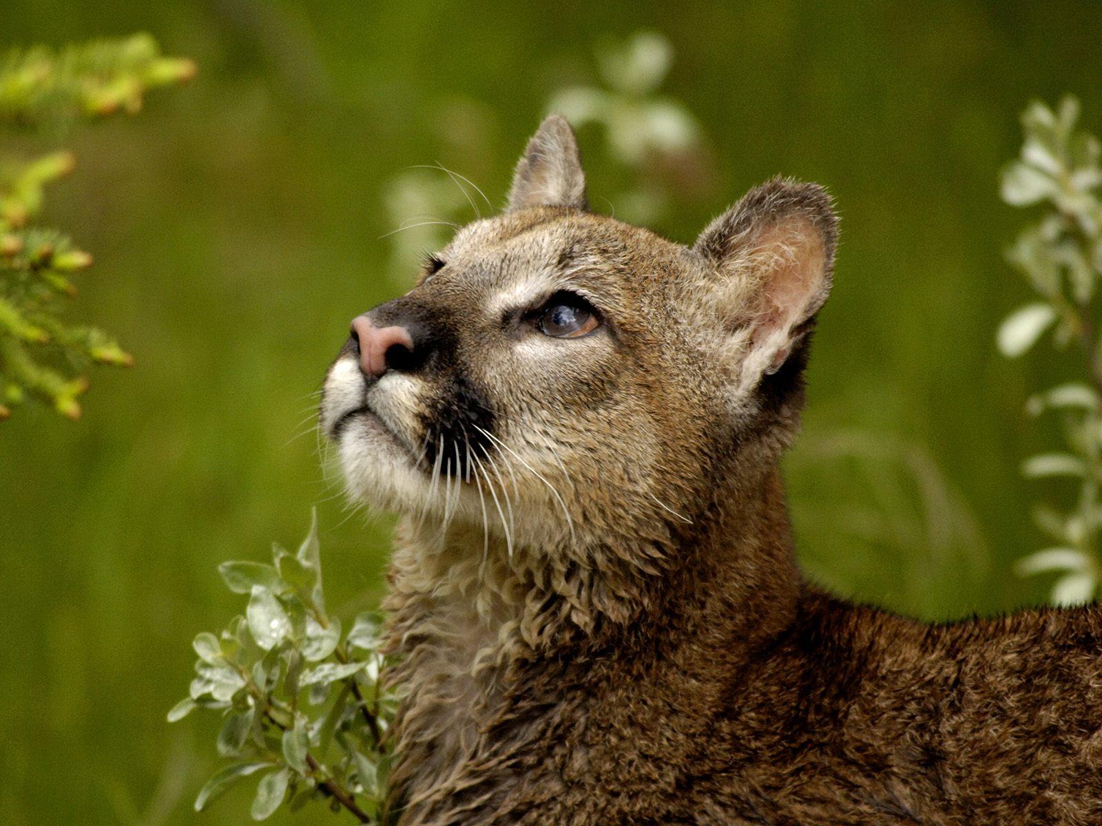 cougars wallpaper hd