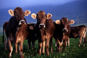 cow wallpaper hd