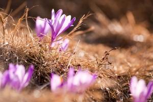 crocuse flowers