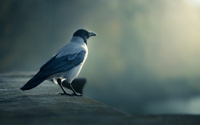 crow picture hd