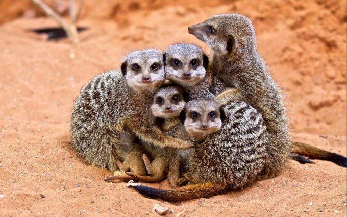 cute animals A11 meerkat