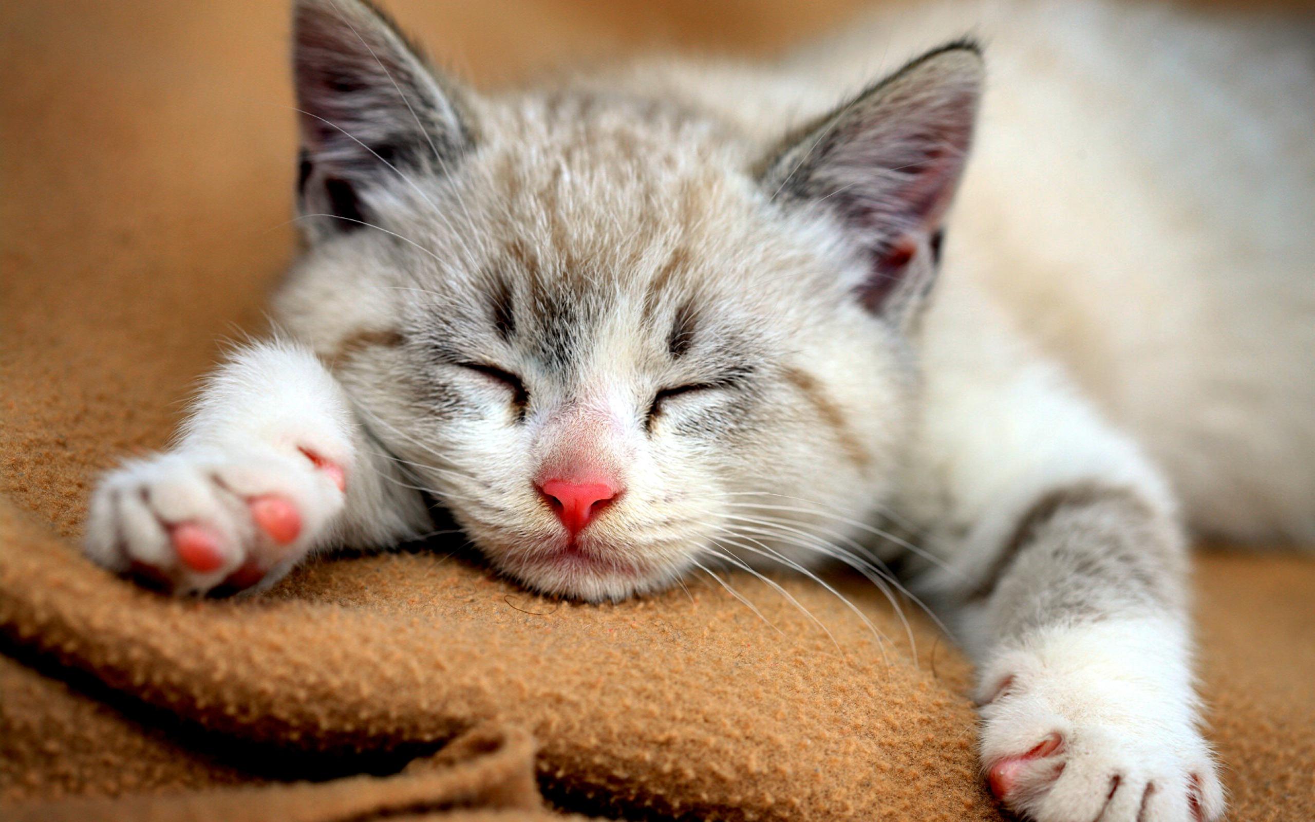 Cute Baby Cats Wallpaper Hd Desktop Wallpapers 4k Hd