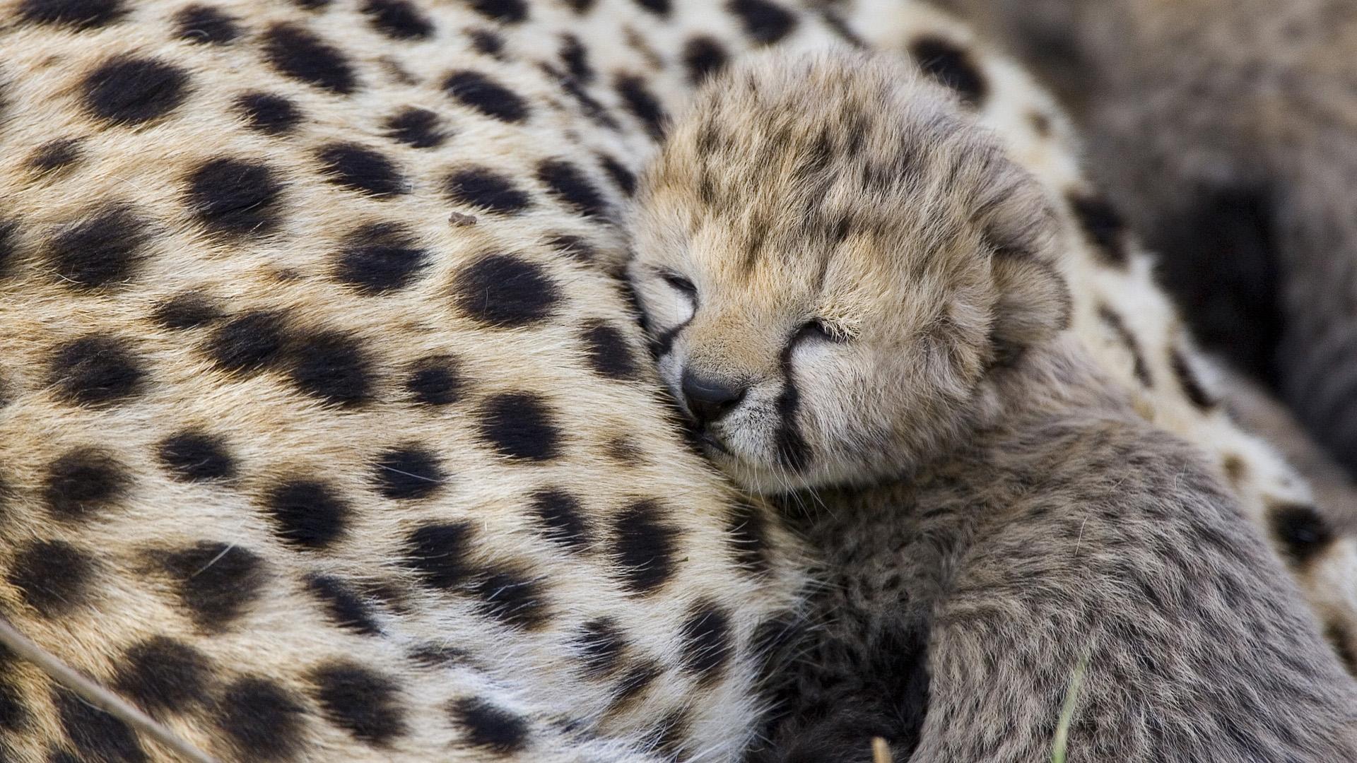 cute baby cheetah wallpaper